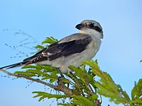 Lesser Grey Shrike (Lanius minor) juvenile (14010854206).jpg