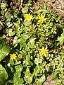 Lesser celandine in St Bartholomew's churchyard, Fingest - geograph.org.uk - 692064.jpg