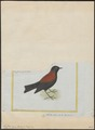 Lessonia nigra - 1700-1880 - Print - Iconographia Zoologica - Special Collections University of Amsterdam - UBA01 IZ16500249.tif