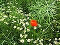Leucanthemum vulgare-2008.JPG