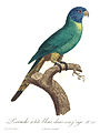Levaillant Parrot 26.jpg