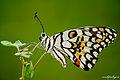 Lime Butterfly - Papilio demoleus.jpg