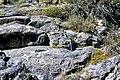Limestones (Big Horse Limestone Member, Orr Formation, Cambrian; Little Horse Canyon, House Range, Utah, USA) (45026593624).jpg