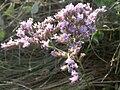 Limonium vulgare baie-authie 80 15072004 1.JPG