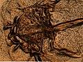 Limulus polyphemus (YPM IZ 098245).jpeg