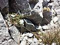 Linum alpinum sl5.jpg