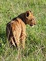 Lion cub, Ngorongoro (2015).jpg