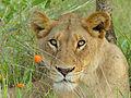 Lioness (Panthera leo) (12025610575).jpg