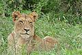 Lioness (Panthera leo) (16422780310).jpg