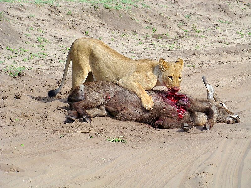 """Lioness after hunting waterbuck- Chobe National Park - Botswana"" by Hanay - Own work. Licensed under CC BY 3.0 via Wikimedia Commons - https://commons.wikimedia.org/wiki/File:Lioness_after_hunting_waterbuck-_Chobe_National_Park_-_Botswana.jpg#/media/File:Lioness_after_hunting_waterbuck-_Chobe_National_Park_-_Botswana.jpg"