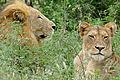 Lions (Panthera leo) (16609759155).jpg