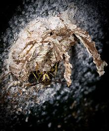 Bộ sưu tập côn trùng 2 - Page 15 220px-Liostenogaster_Vechti_Photo._David_Baracchi