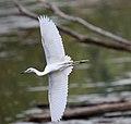 Little Blue Heron (Egretta caerulea) (30378015106).jpg