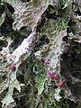 Lobaria macaronesica C. Cornejo & Scheid 407120.jpg