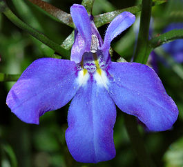 Lobelia close-up (aka).jpg