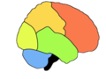 Lobes du cerveau humain.png