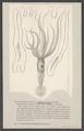 Loligopsis - Print - Iconographia Zoologica - Special Collections University of Amsterdam - UBAINV0274 005 09 0048.tif