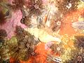 Long siphoned whelk at Lace Reef P5260332.jpg
