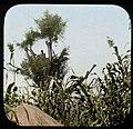Lookout in tree in cornfield (3948760554).jpg