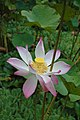 Lotus - Tahiti.jpg