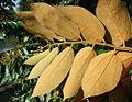 Luehea seemanii, view of underleaves (9928129455).jpg