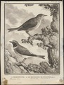 Luscinia vera - 1700-1880 - Print - Iconographia Zoologica - Special Collections University of Amsterdam - UBA01 IZ16200220.tif