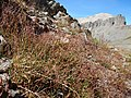 Luzula parviflora (28586180293).jpg