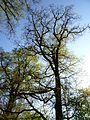 """Mächtige Eichen, EU-Vogelschutzgebiet """"Wälder im Donautal"""".jpg"""