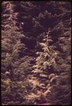 MIXED STAND OF WESTERN RED CEDAR, HEMLOCK AND DOUGLAS FIR IN OLYMPIC NATIONAL TIMBERLAND, WASHINGTON. NEAR OLYMPIC... - NARA - 555108.tif