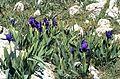 MaIrisSubbiflora1.jpg