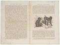 Macacus nemestrinus - 1700-1880 - Print - Iconographia Zoologica - Special Collections University of Amsterdam - UBA01 IZ20000035.tif