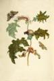 Maccai Maria Sibylla Merian 1705 plate VI.png