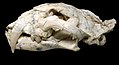 Machairodus aphanistus female skull - Batallones fossil sites, Torrejón de Velasco, Madrid, Spain.jpg