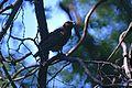 Madagascar Buzzard (Buteo brachypterus) (9613268269).jpg