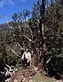 Madeira-28-Baumheide-2000-gje.jpg