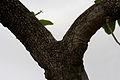 Madhuca longifolia var latifolia (Mahua) trunk W IMG 0246.jpg