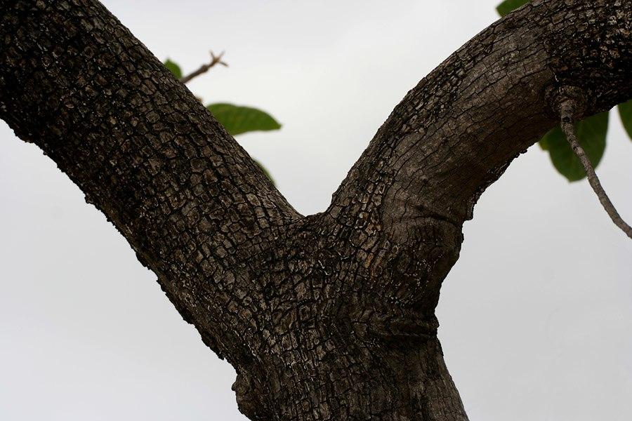 Madhuca longifolia var latifolia (Mahua) trunk W IMG 0246