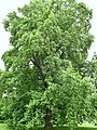 Magnoliaceae Liriodendron tulipifera 2.2.jpg
