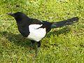 Magpie (Pica pica) (5561760354).jpg