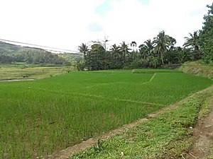 Viga, Catanduanes - Rice fields