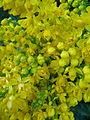 Mahonia aquifolium, var. Smaragd.jpg