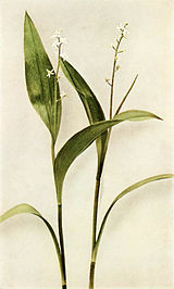 Maianthemum trifolium WFNY-032A.jpg