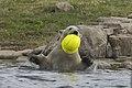 Male? child Polar bear playing (1-5) (20334778879).jpg