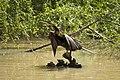 Male Australasian Darter (1).jpg