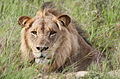Male lion in the grass (13922365031).jpg