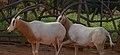 Male scimitar oryx following estrus female scimitar oryx.jpg