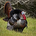 Male wild turkey (Meleagris gallopavo) strutting.jpg