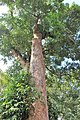 Malpighiales - Irvingia malayana - 4.jpg