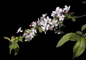 Malus floribunda - Malus floribunda blossom