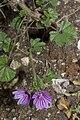 Malva sylvestris vallee-de-grace-amiens 80 22062007 2.jpg